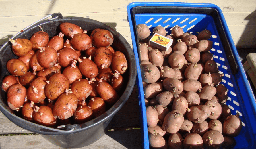 Картофель любава