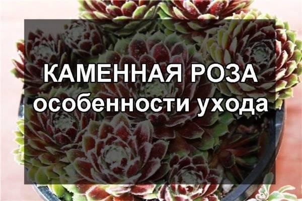 Каменная роза (молодило) - уход в домашних условиях и открытом грунте. посадка, пересадка и размножение молодила.