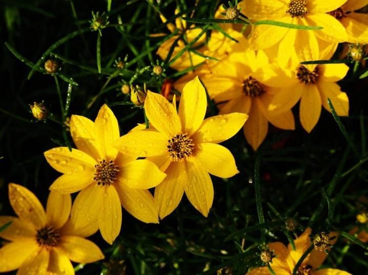 Кореопсис: фото и виды, посадка и уход за цветком
