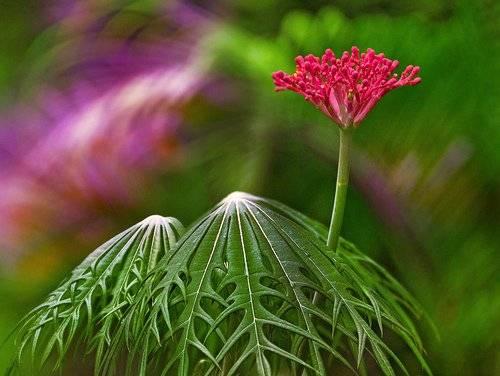 Ятрофа — посадка, выращивание и уход в домашних условиях, фото видов