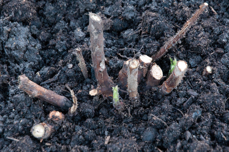 Основные правила осенней посадки малины — пошаговая инструкция