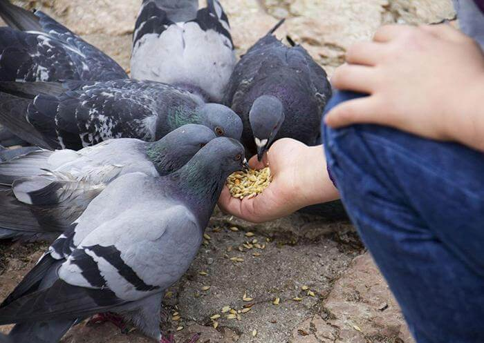 Сальмонеллез у голубей: симптомы, лечение, профилактика