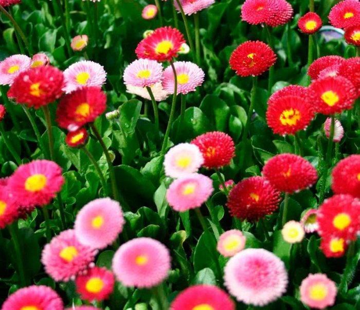 Маргаритка многолетняя - фото цветка для изящного садоводства