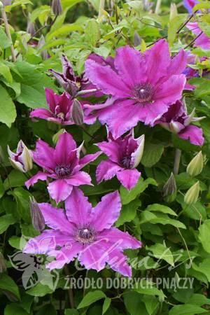 Клематис вивиан пеннел — фиолетовые акценты в саду
