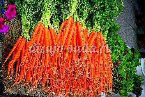 """Морковь нандрин f1 - описание сорта, фото, отзывы, посадка и уход - журнал """"совхозик"""""""