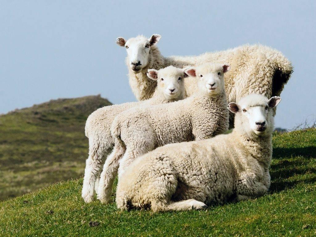 Разведение овец в домашних условиях: породы, содержание и уход