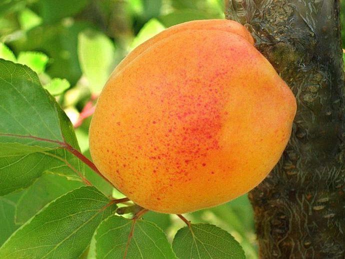 Как обрезать колоновидный абрикос