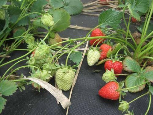 Монтерей — ремонтантная садовая земляника из калифорнии