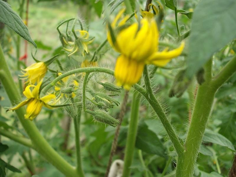 Что делать, если у помидоров растут кусты, но мало цветов и завязей фото видео