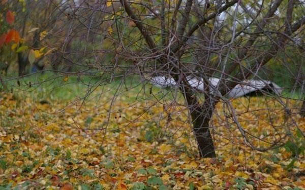 Болезни войлочной вишни и лечение, вредители: описание с фотографиями