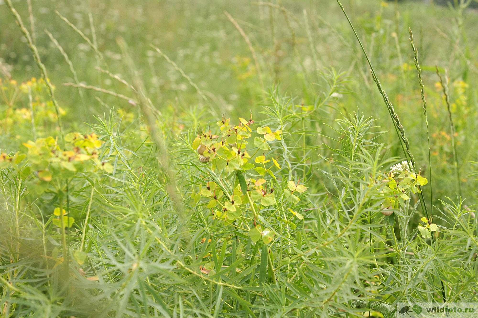 Молочай сорняк: 2 способа борьбы