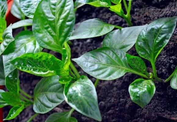 Скручиваются листья у рассады перца - что делать, причины закручивания листовой пластины, фото