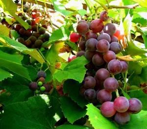 Виноград изабелла описание сорта — посадка и уход