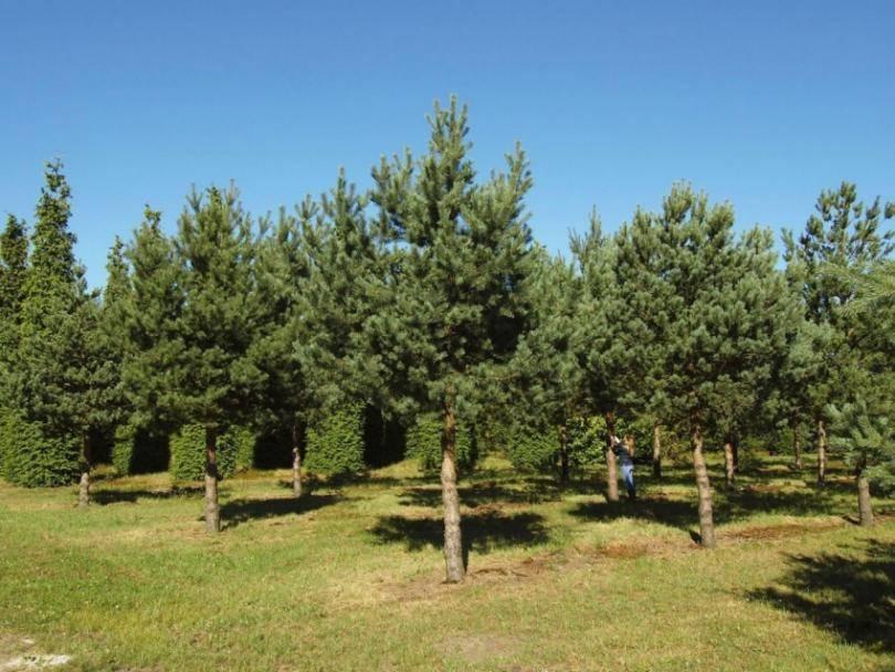Обрезка хвойных деревьев и кустарников: какая, когда и как производится