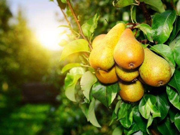 Как посадить грушу весной и осенью в открытый грунт чтобы плодоносили