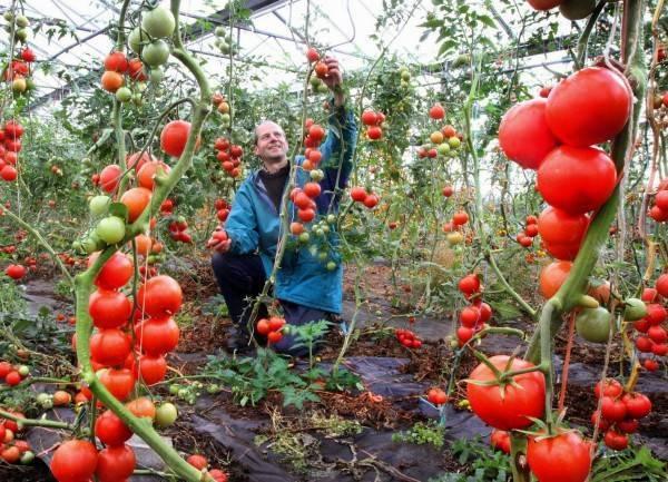 Подкормка помидоров во время цветения и завязывания плодов: чем подкормить в теплице и открытом грунте томаты