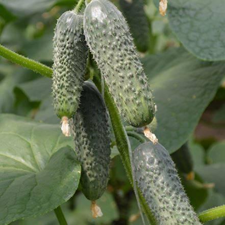 Огурец лютояр f1: описание, характеристика сорта, отзывы, фото