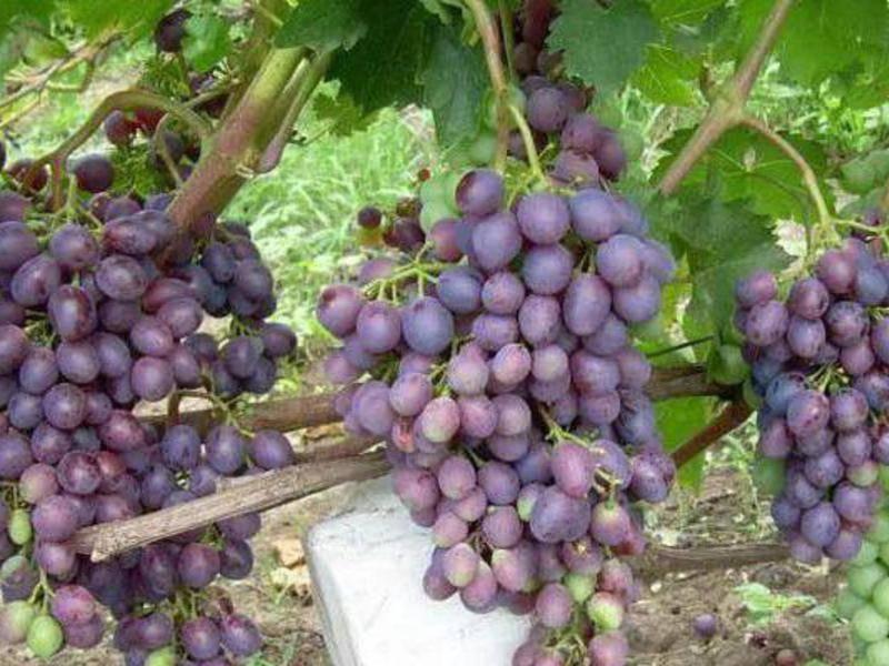 Виноград «краса никополя» - описание и характеристика сорта с фото