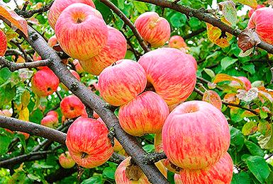 Яблоня папировка: характеристики, особенности и уход за деревьями
