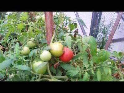 Урожай как на дрожжах: чем подкормить помидоры в период плодоношения