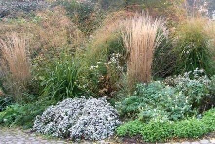 Посадка и уход за астрами в открытом грунте, выращивание из семян