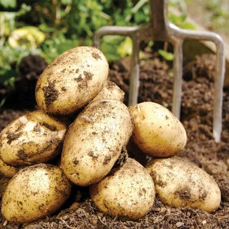 Картофель винета: рассматриваем во всех подробностях