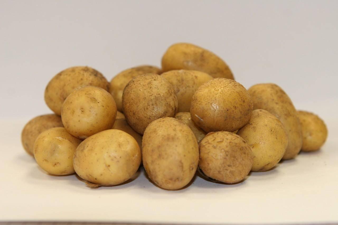 Сорт картофеля «свитанок киевский» – описание и фото