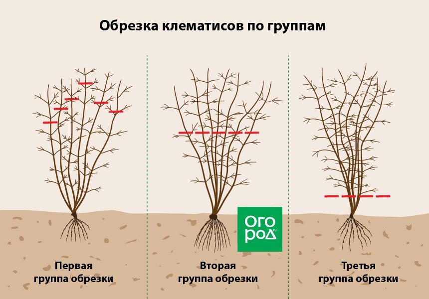 Как обрезать клематис весной и осенью: правила для трех групп обрезки