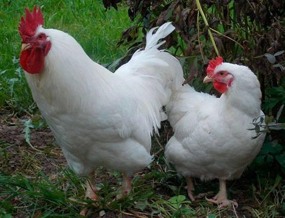 Русская белая курица - описание с фото