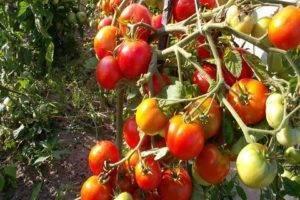 Когда сажать помидоры на рассаду в 2021 году в подмосковье: расчет благоприятных дней с учетом климата региона и фаз луны