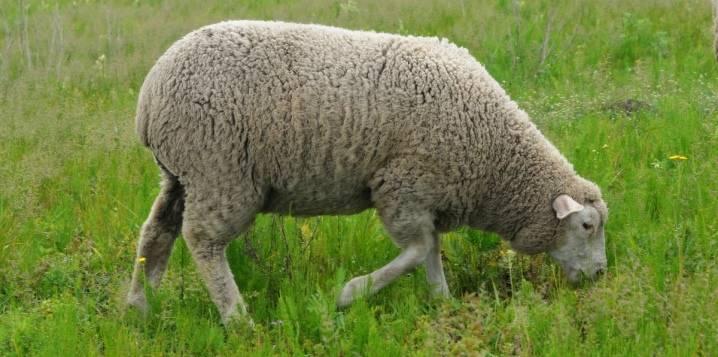Овцы карачаевской породы: описание, характеристика, особенности содержания и кормления  — vkmp