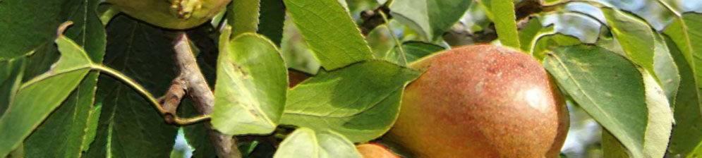 Осенние груши