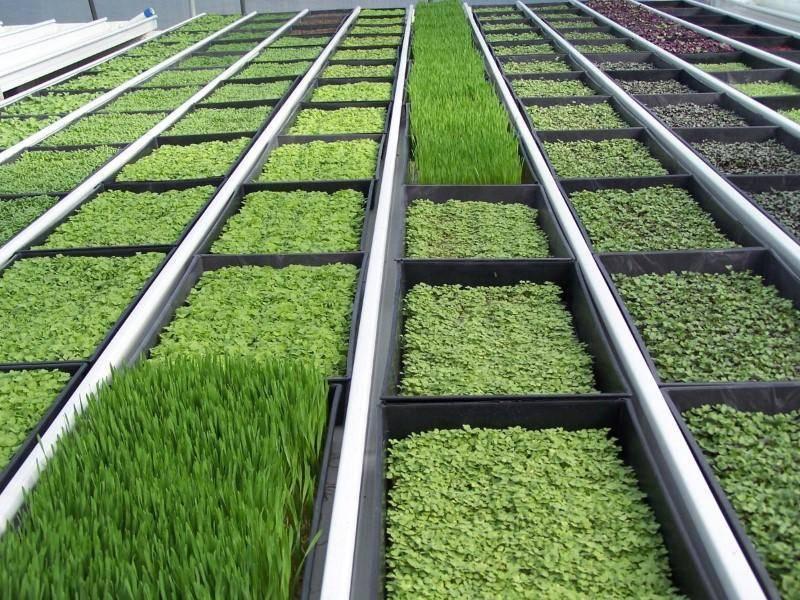 Выращивание зелени в домашних условиях – круглый год с витаминами: лук, петрушка, базилик, чеснок, тонкости данного процесса (фото & видео)