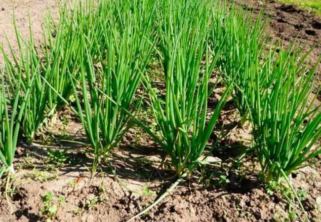 Лук шалот в открытом грунте, посадка, выращивание и уборка урожая шалота