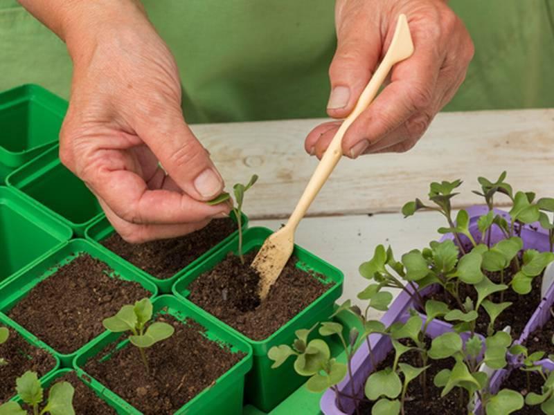Пикирование капусты: сроки, описание способов
