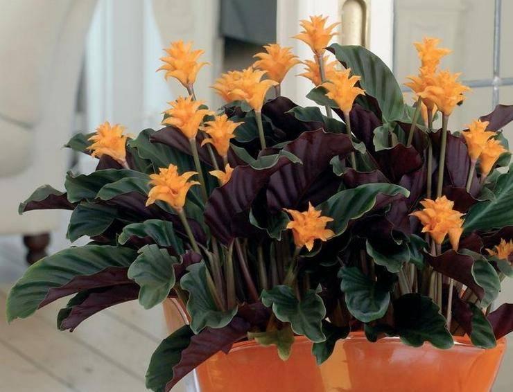 Калатея кроката (25 фото): уход за цветком в домашних условиях, пересадка калатеи шафранной после покупки и размножение. почему у нее сохнут листья?