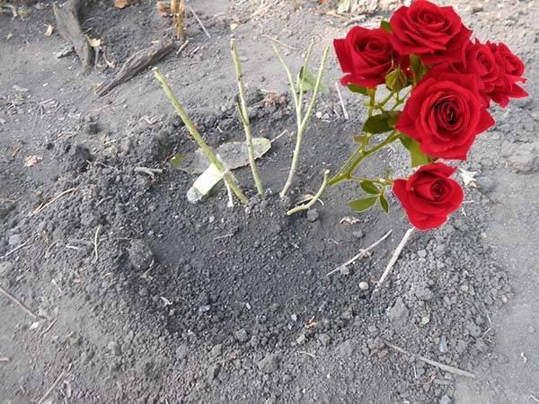 Важные правила осенней посадки роз