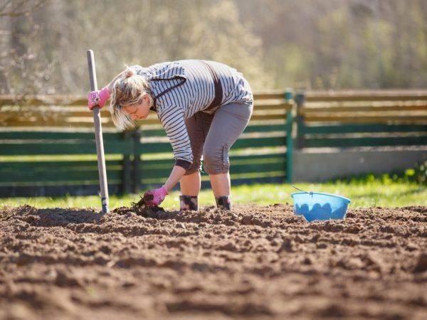 Правильная посадка картофеля: нюансы, советы, способы