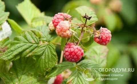 Малина новость кузьмина: отзывы садоводов, описание сорта, урожайность с одного куста + фото