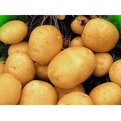 Картофель ариэль: описание сорта, его характеристика и фото русский фермер