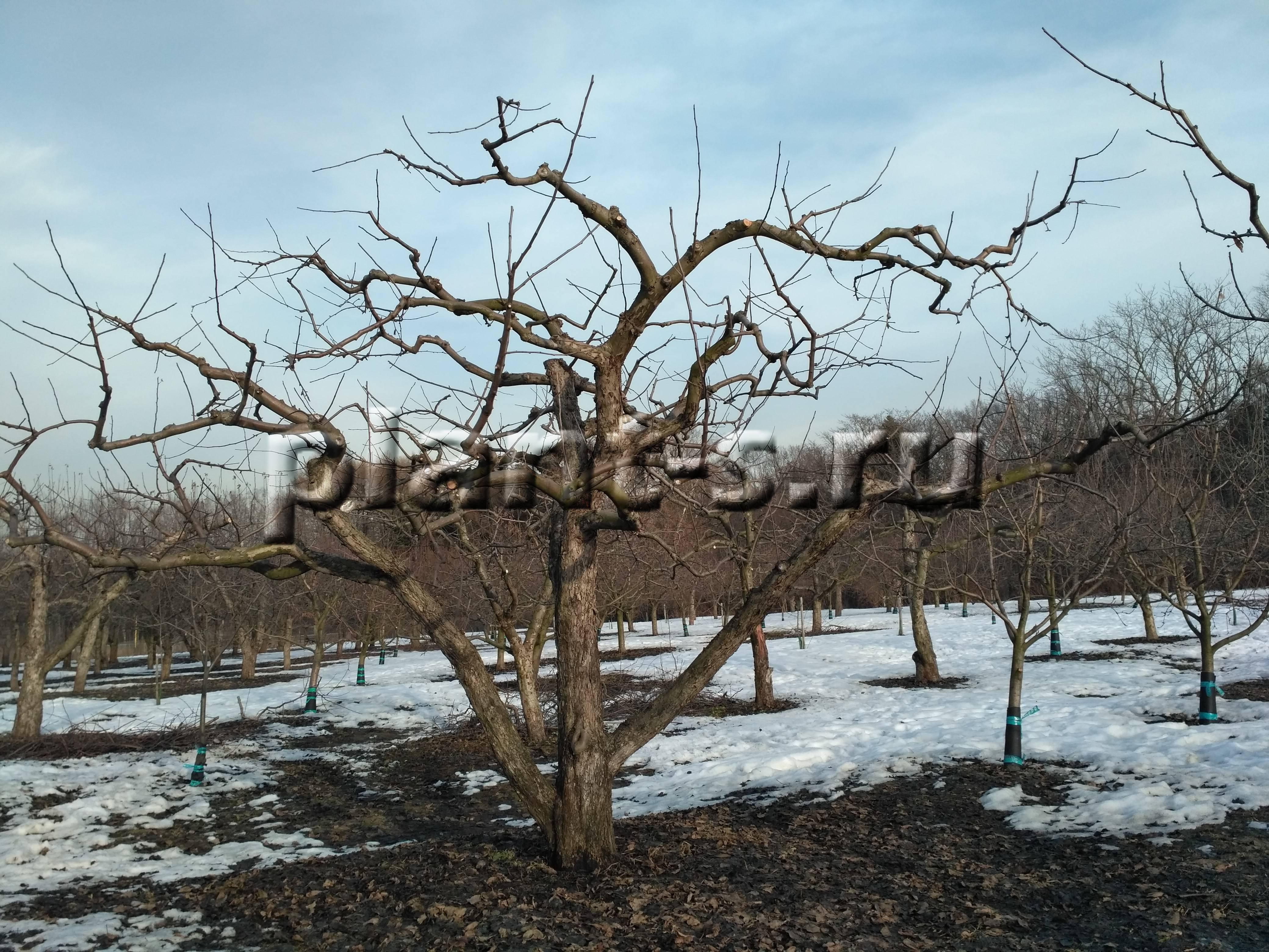 Обрезка яблонь весной: как отличить плодоносящие ветки, схемы | спутниковые технологии