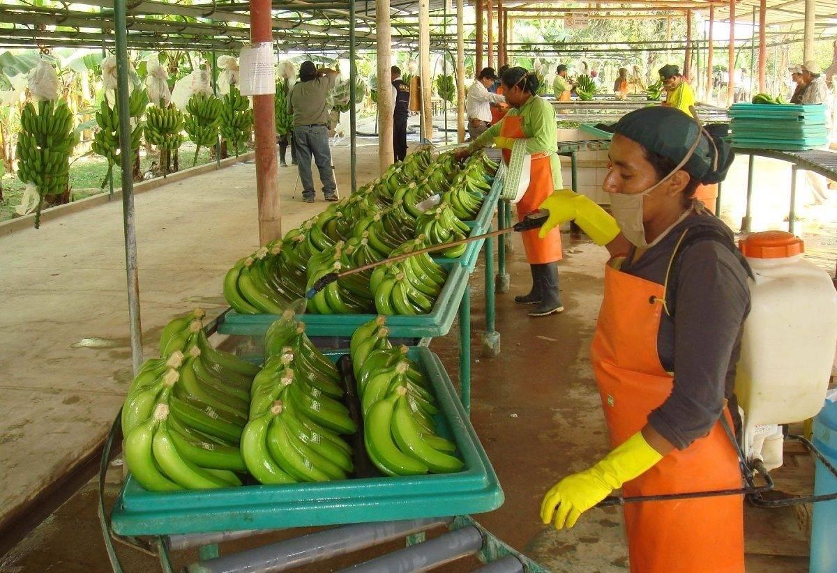 Банановая кожура как удобрение для комнатных растений и не только