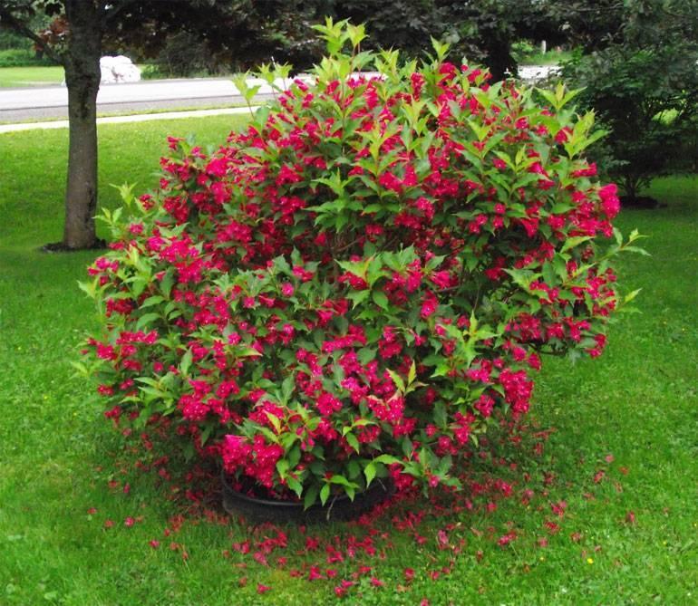 Вейгела (70 фото): описание кустарника, вейгела розовая, ранняя и другие, цветок в ландшафтном дизайне. какую почву любит?