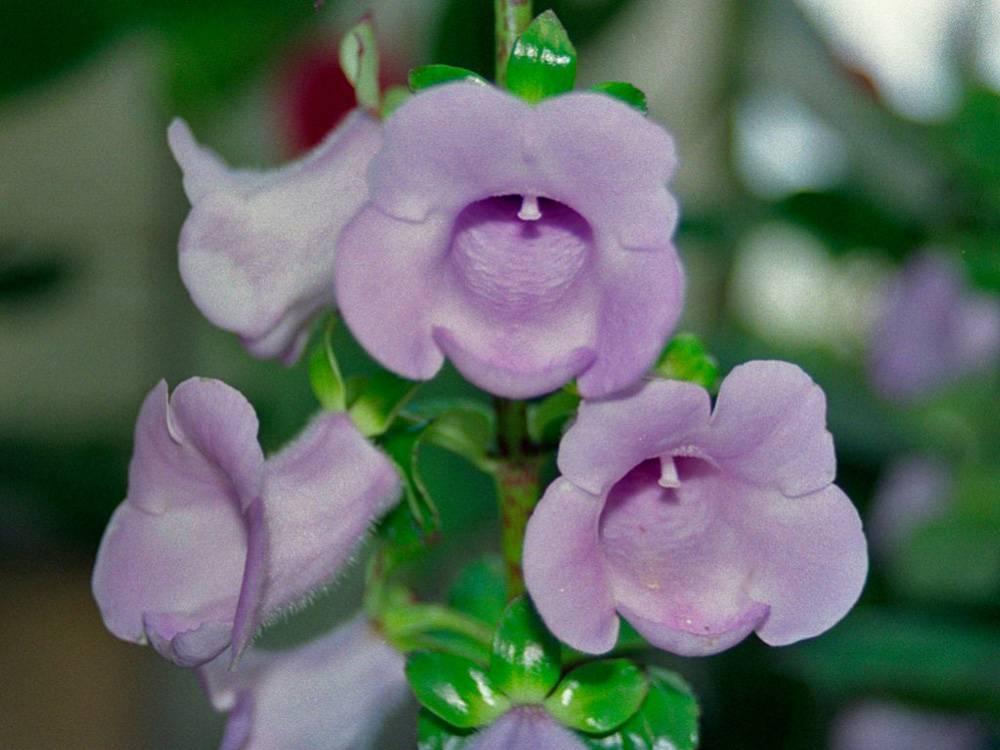 Выращивание глоксиний. выращивание глоксинии из семян и черенкованием