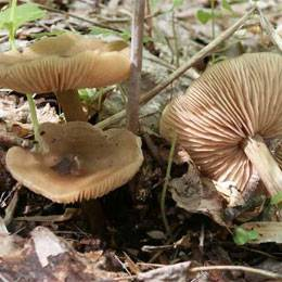 Энтолома садовая: можно есть этот гриб или нет?