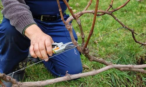 Когда лучше обрезать виноград осенью или весной: советы опытного садовода