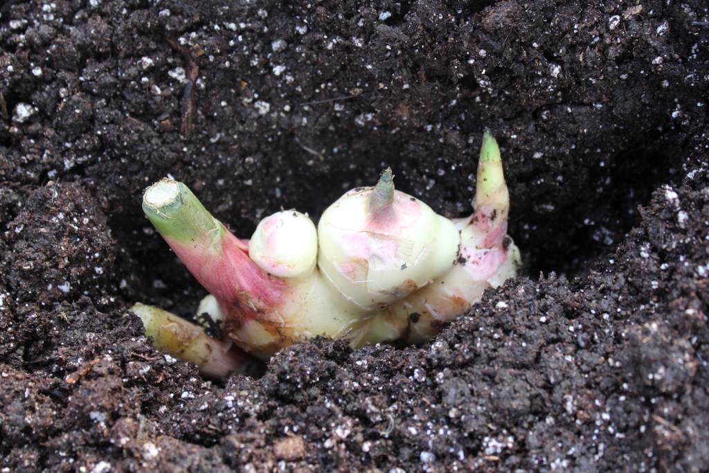 Имбирь на даче: как посадить и вырастить имбирь в огороде