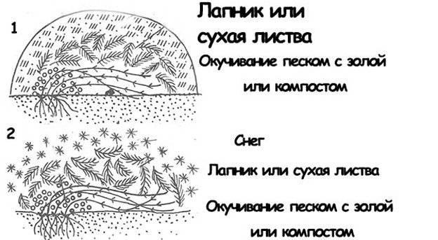 Укрытие и подготовка клематисов к зиме в подмосковье