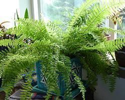 Секреты размножения и выращивания папоротников в домашних условиях: правильный уход, посадка и пересадка