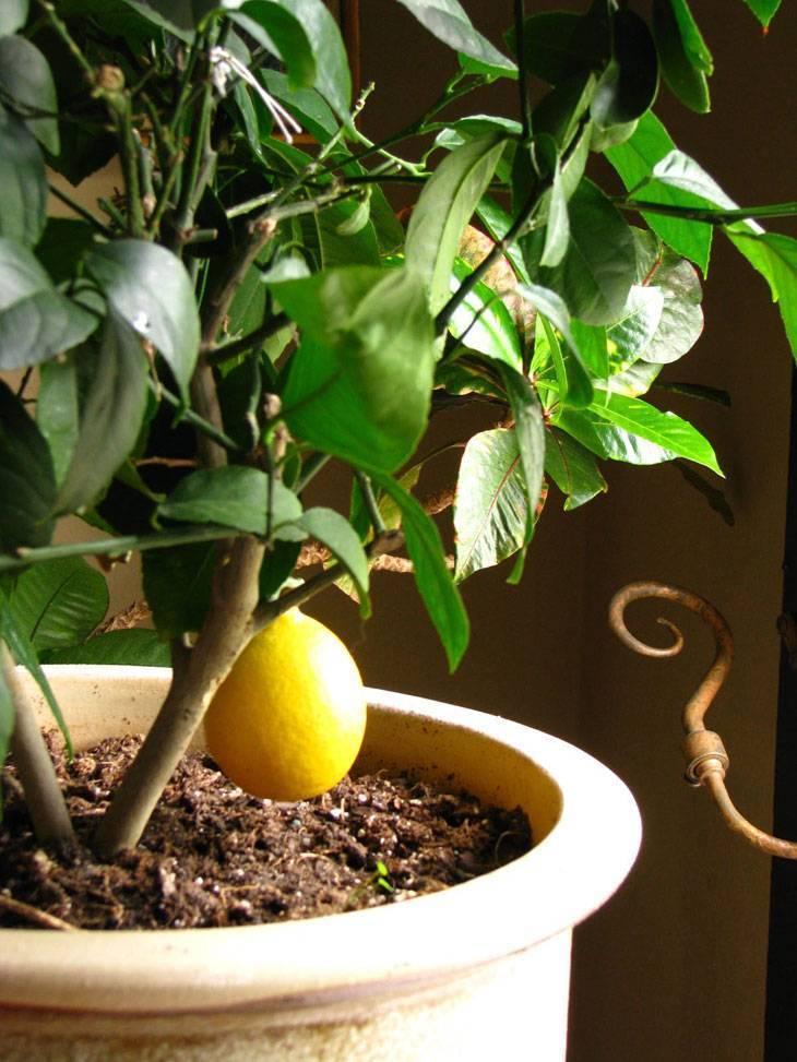 Как правильно вырастить лимон из косточки дома